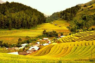 Golden yellow autumn in Mu Cang Chai 3