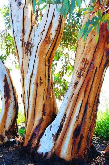 Salmon Gum, Eucalyptus salmonophloia 001