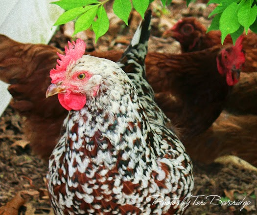 Chickens In The Garden Photo by Tori Beveridge