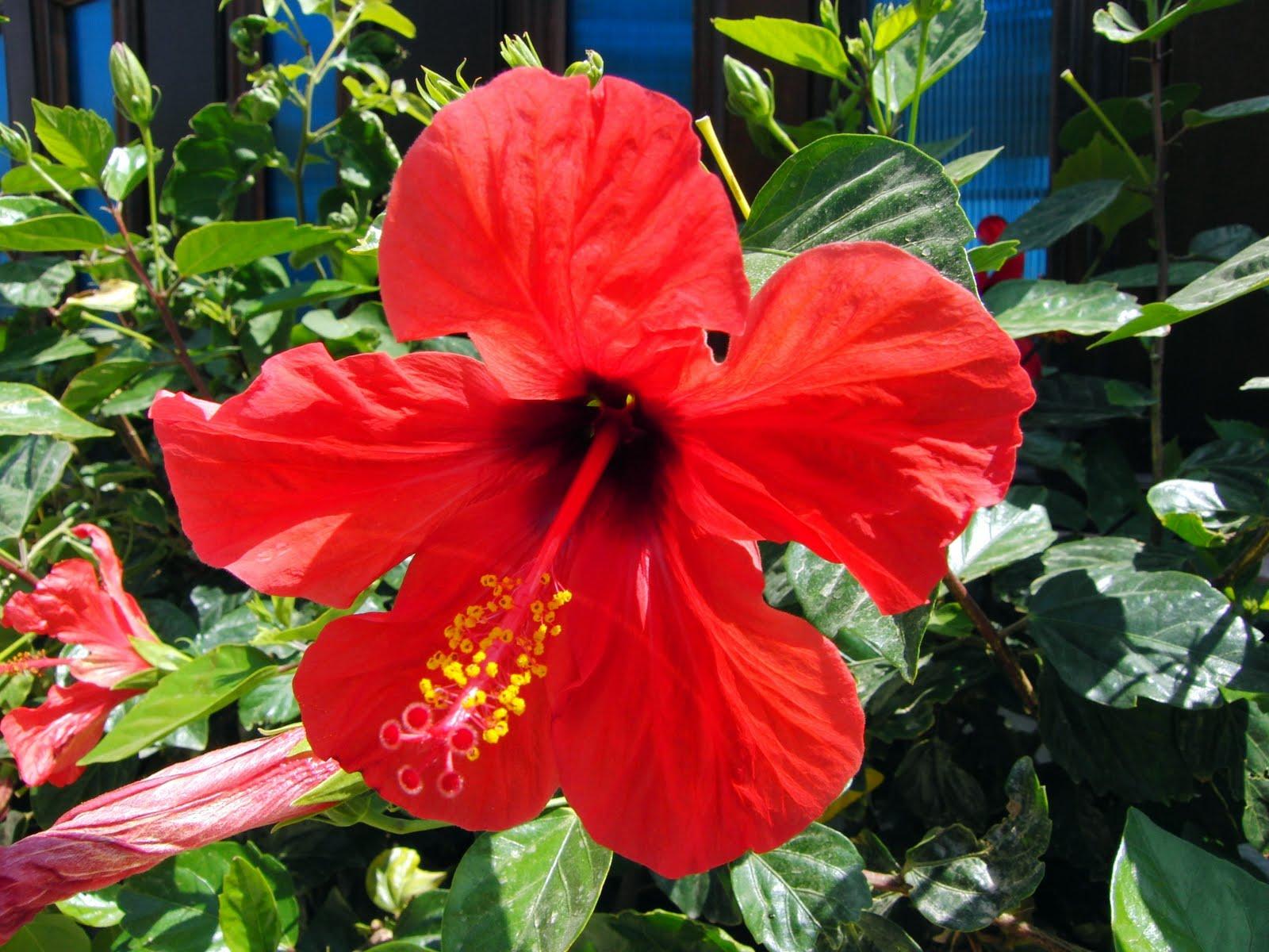 home and garden hibiscus rosa sinensis. Black Bedroom Furniture Sets. Home Design Ideas