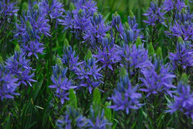 Cobalt-blue Camassias were massed in several areas, including the in the stair bank down to the Sunken Garden.