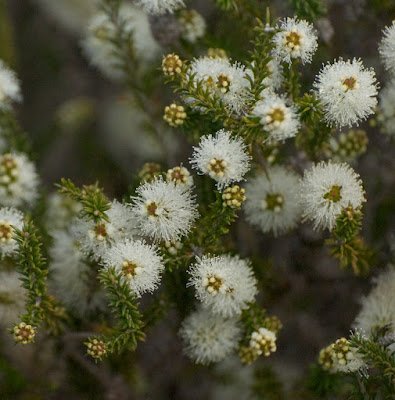 Coastal Honey-Myrtle (Melaleuca systena)