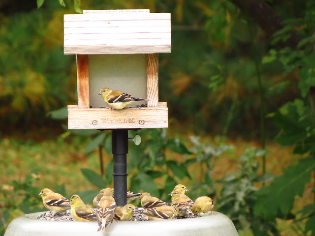 and more american goldfinches