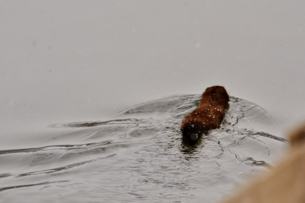mink swimming river