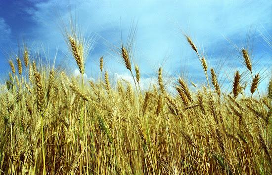 Que significa soñar con trigo