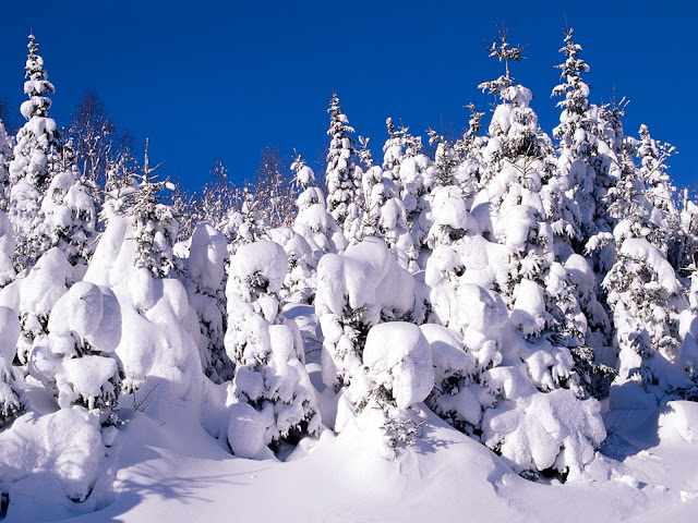 Spruce trees covered in snow, Canada wallpaper