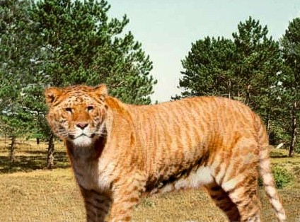 The adventure 39 s of ralph if you love ligers - Show me a picture of the tiger ...