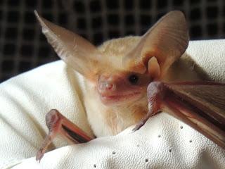 baby bat pictures