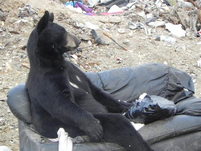 Bear in Shamattawa Dump