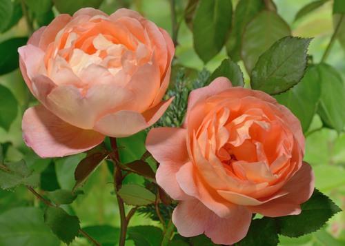 Lady Emma Hamilton rose сорт розы фото купить саженцы
