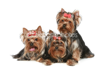 Dep  Yorkshire  Terrier  Puppies On A White Background
