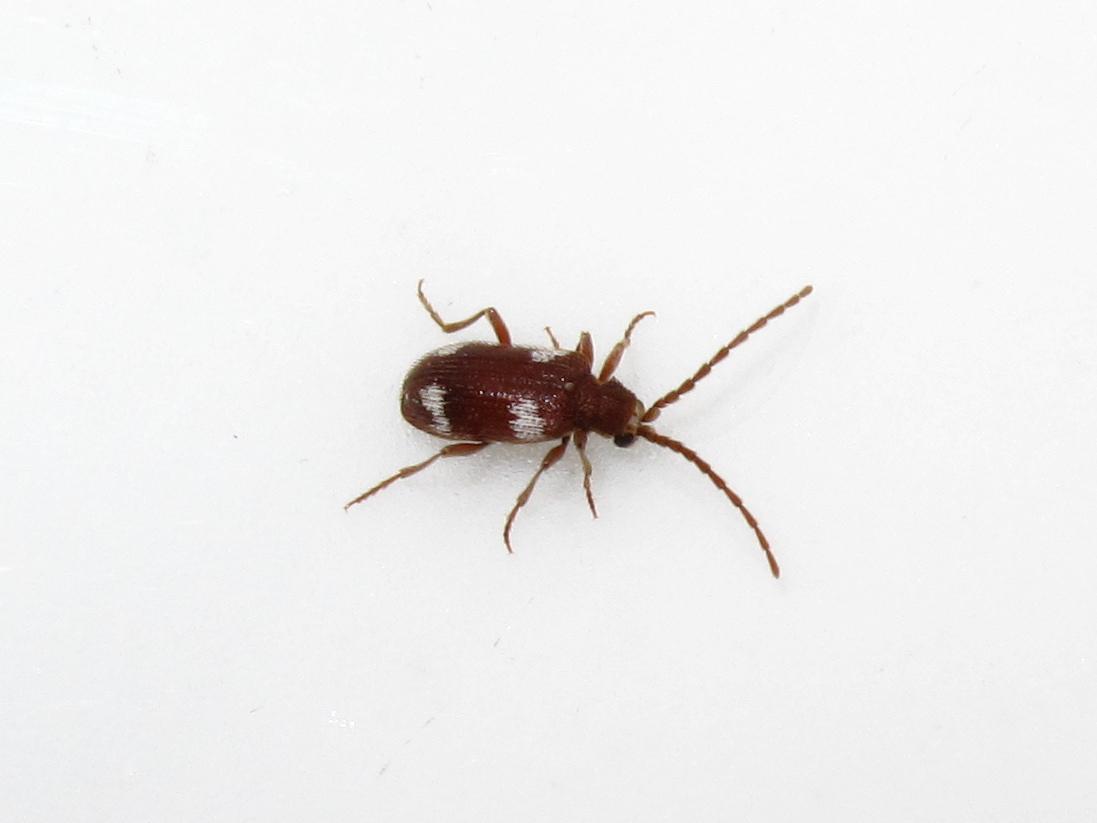 Spider beetle. BugBlog  Spider beetle
