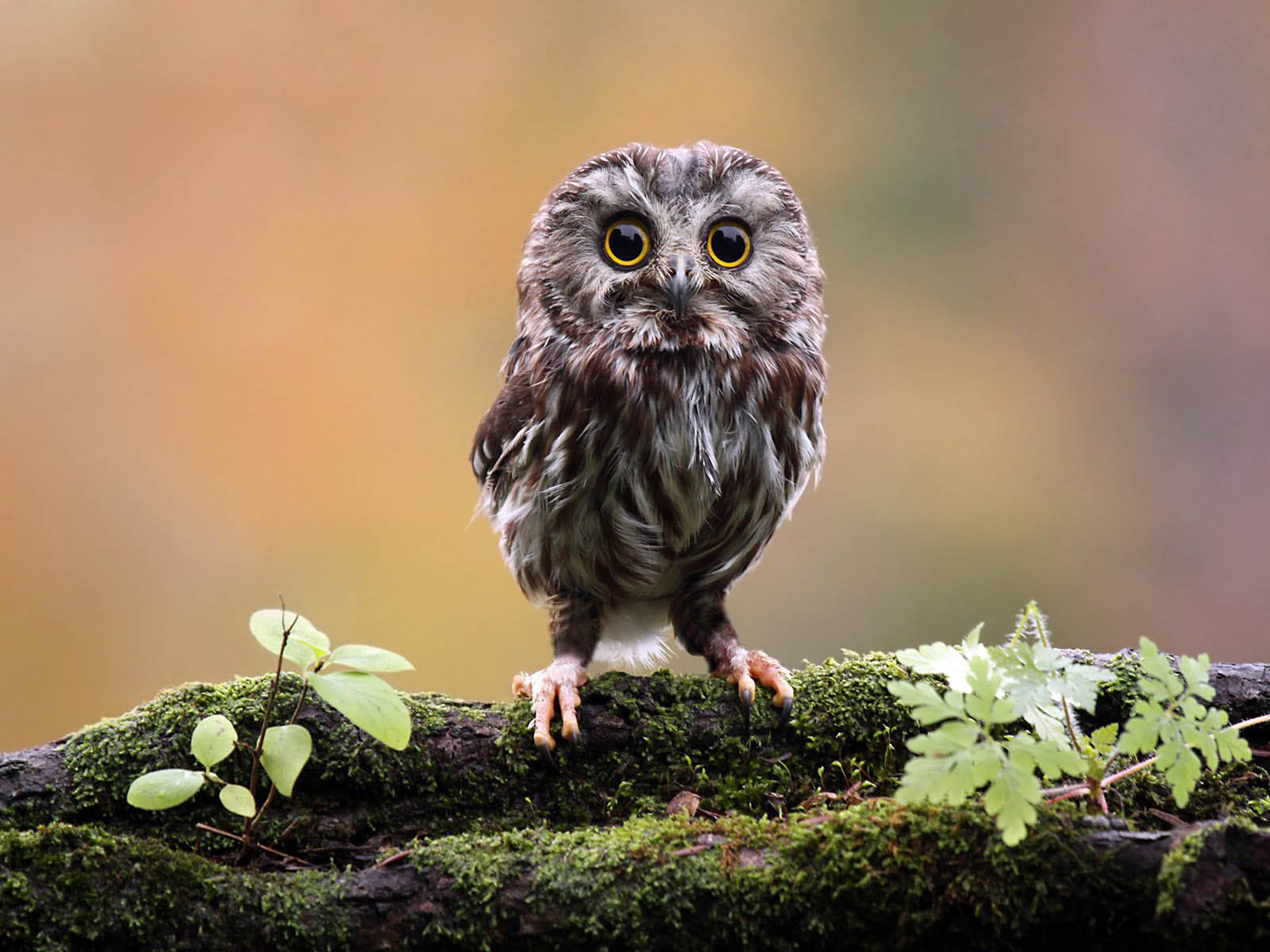funny owl picture for wallpaper