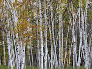 Wellesley Island ~ Birch grove