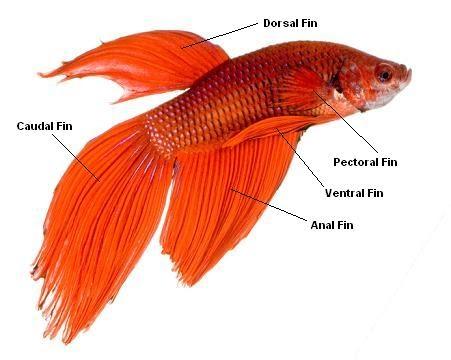 Betta fish tips betta fish for Betta fish life expectancy