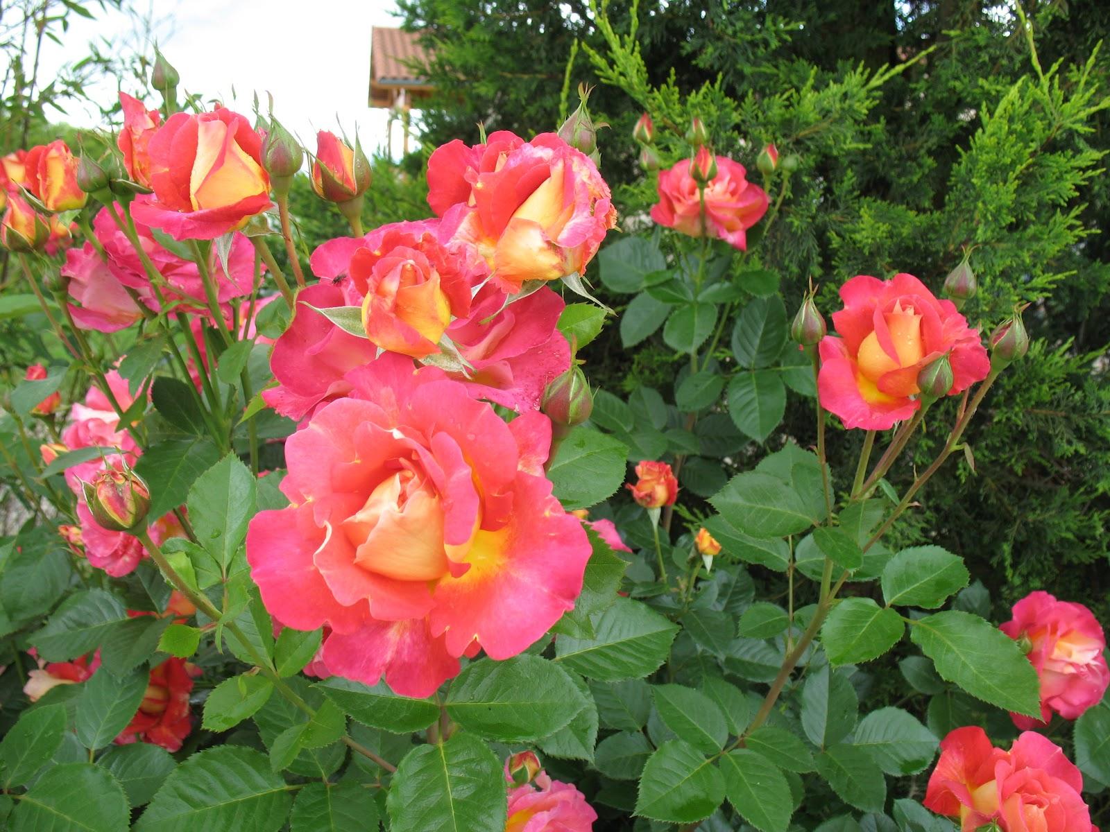 """Roses du jardin Chêneland: Rosier """"Décor Arlequin"""""""