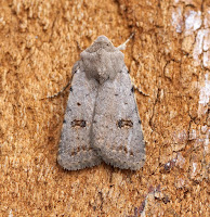 Latest New Macro Moth Species - Clancy's Rustic