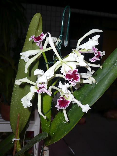 http://3.bp.blogspot.com/-fM14um5t-w0/Ty3Or7JInPI/AAAAAAAAAas/jHTq8aa5iNk/s1600/laelia+crispa+2012+004.JPG