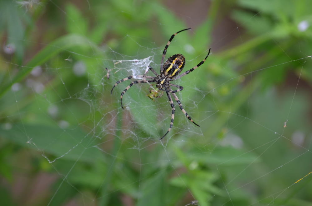 аргиопа брюнниха насекомые и их знакомые
