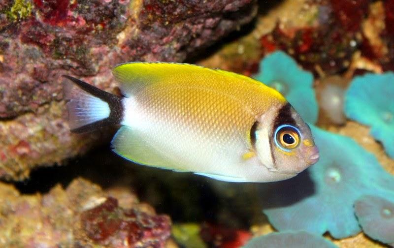 Genicanthus semifasciatus