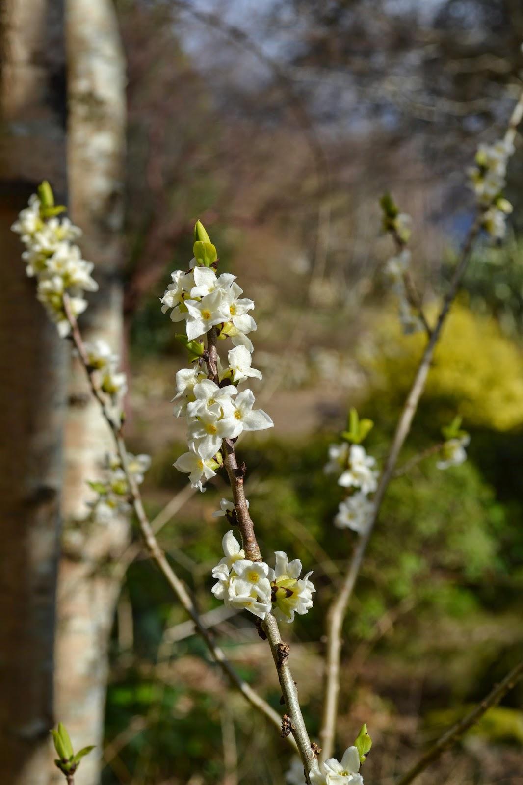 White Daphne mezeron - Abriachan Nurseries