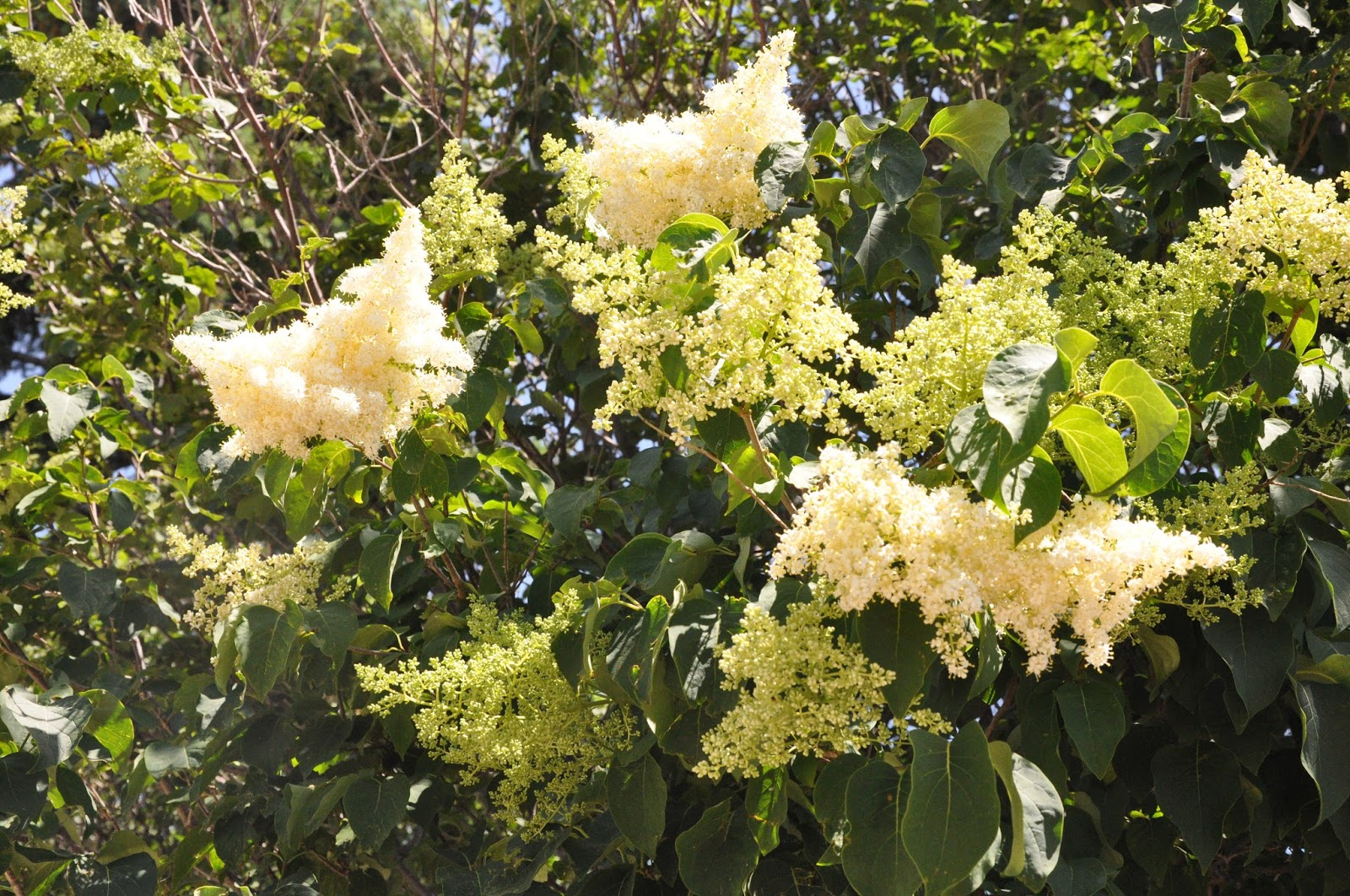 CO Horts Options for Small Flowering Trees