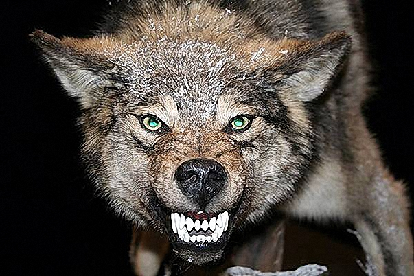 Фото волка оскаленного