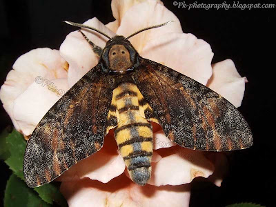 Deaths Head Hawk moth