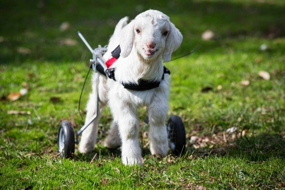 MailDay Handicapped Cute Baby Goat Frostie Gets His Wheels - 28 cute baby animals will melt heart