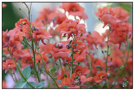 Growing with plants growing coral and poppy wedding flowers new diascia varieties come in the perfect shade of coral not great cut flowers they are great for early spring plantings in the ground or in containers mightylinksfo