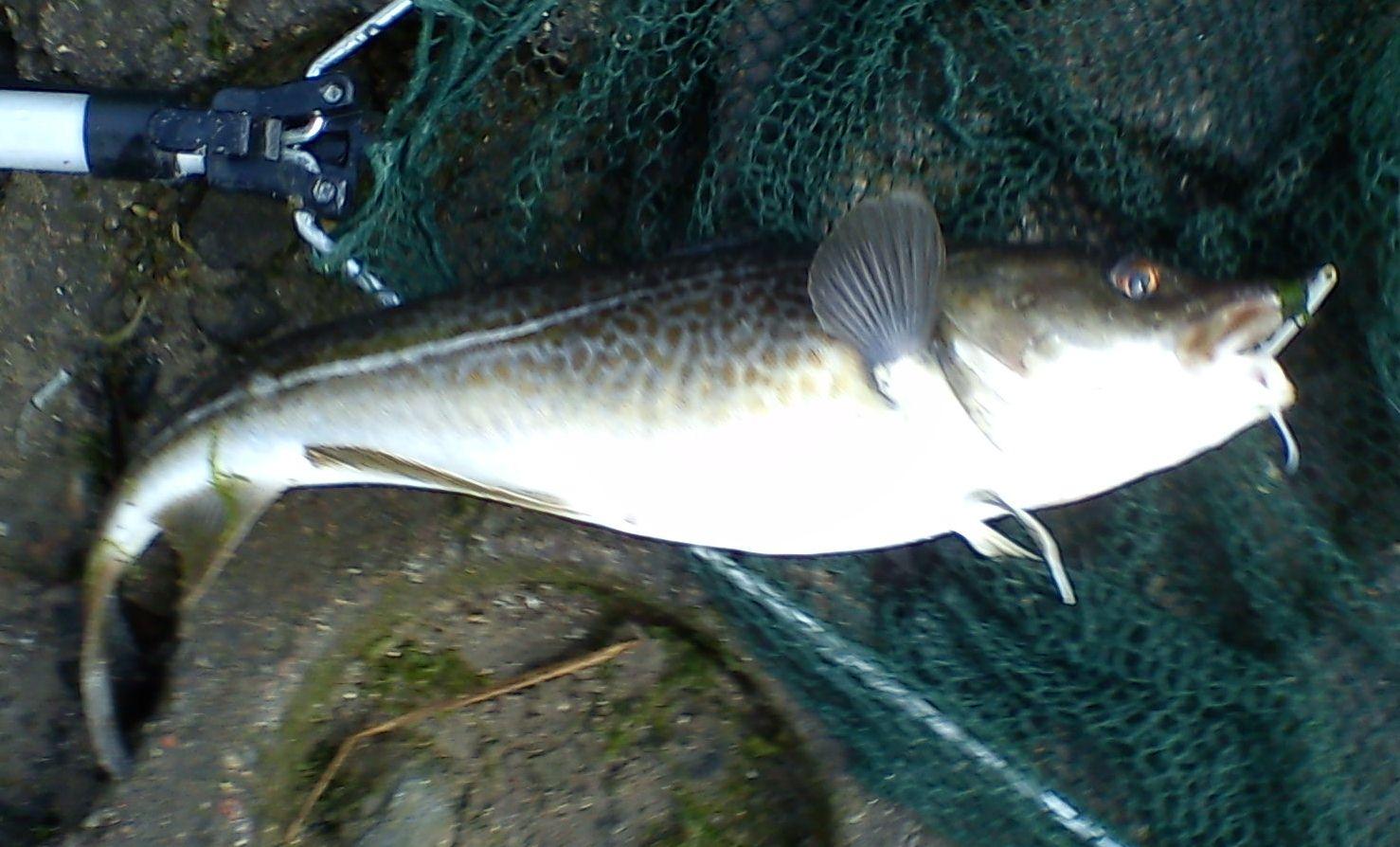 trækker torsk i land midlertidig fyn