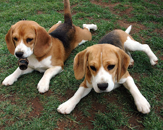 Beagle Dogs Wallpapers