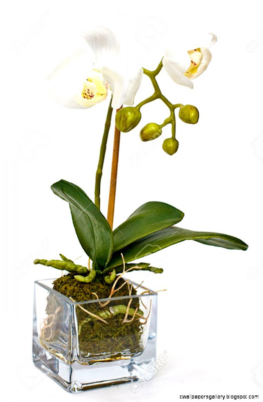 White Orchid In Vase On White Background Stock Photo Picture And