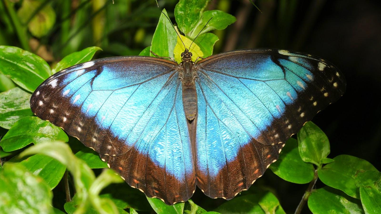 Wallpaper HD cu fluturele Morpho Menelaus de culoare albastru