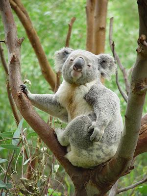 معلومات جديدة عن حيوان الكوالا Cute+Cozy+Koala+Bear+Scratching
