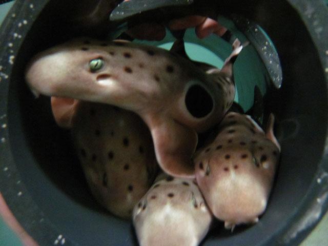 epaulette shark tank - photo #15