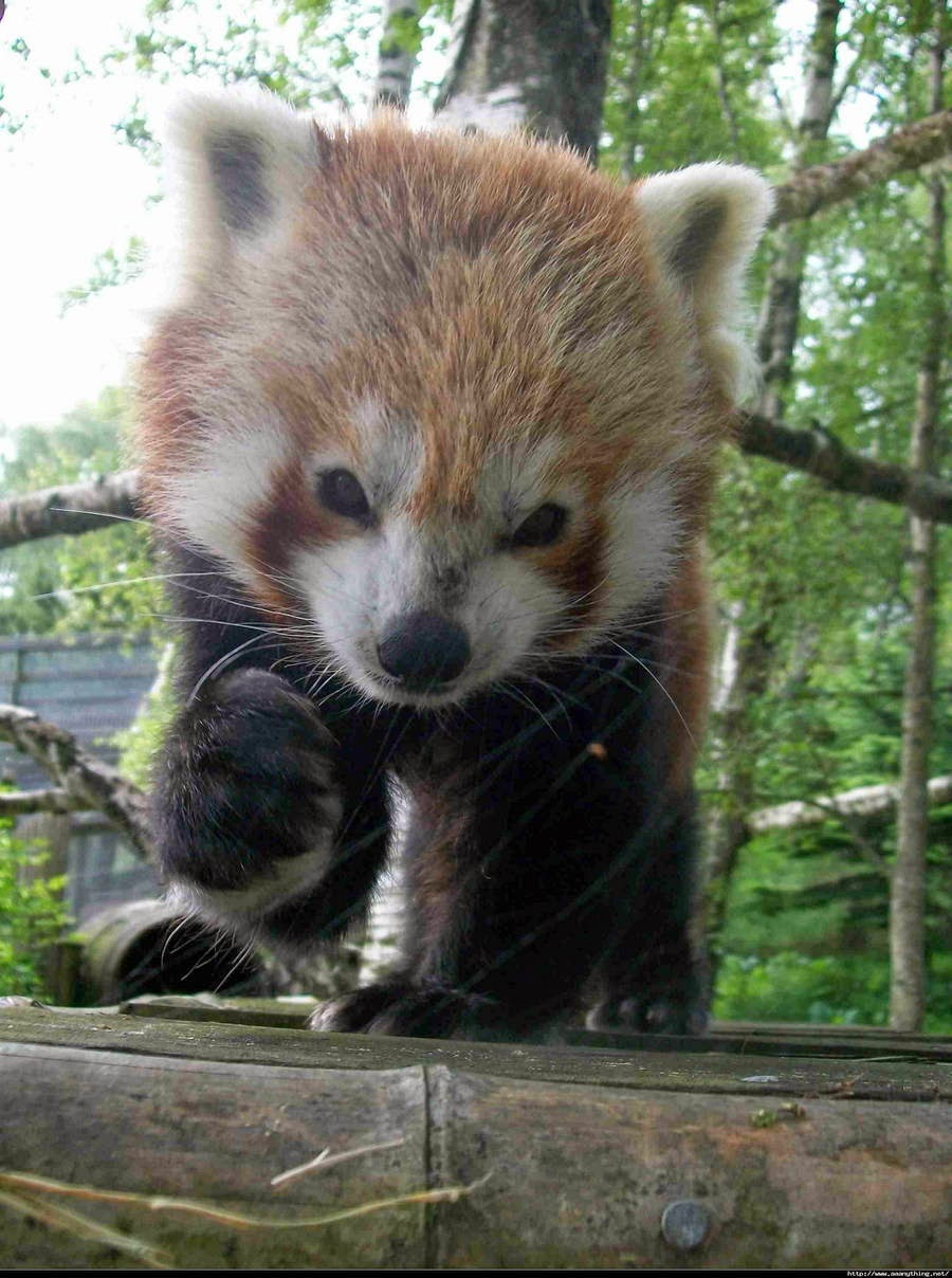 40 Adorable red panda pictures (40 pics), cute red panda