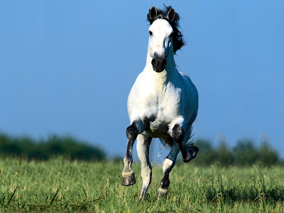 Running White Horse wallpaper Desktop