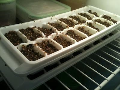 Pesto Cubes in Freezer made with hazelnuts, basil, garlic