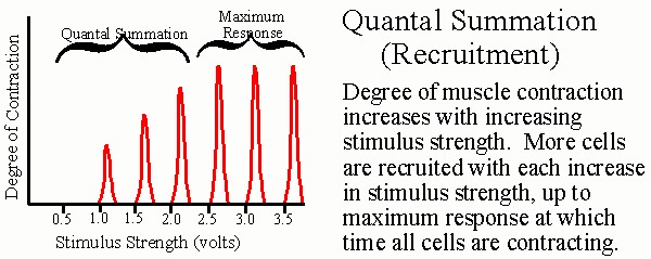 describe the force of contraction with each subsequent stimulus Explain the effect that periods of recovery have on the force of a muscle, as  compared to a continuous multiple stimulus fatigue  during contraction, the  myofilaments are sliding past each other, and  is less than the force it is able to  produce in subsequent movements within a relatively narrow time span.