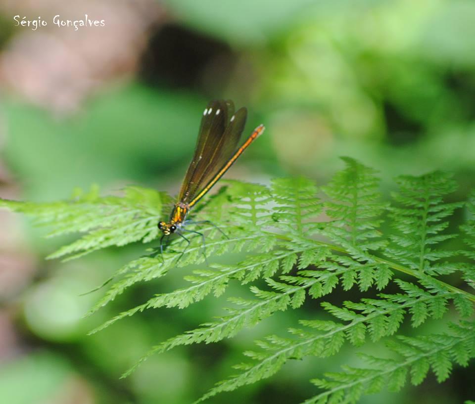 Calopteryx haemorrhoidalis, fêmea