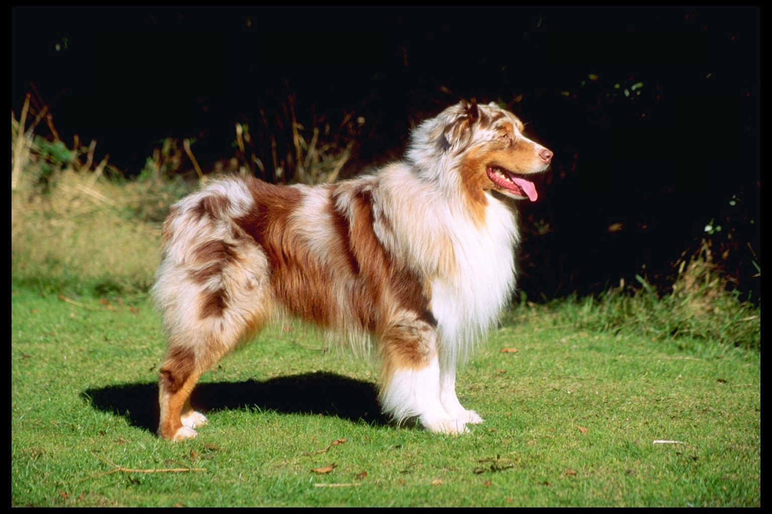 Dog Photo: The Australian Shepherd Dog Photo