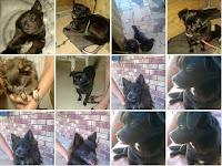 Napoli cani adozione Cani Chiwawa Volpino Pechinese