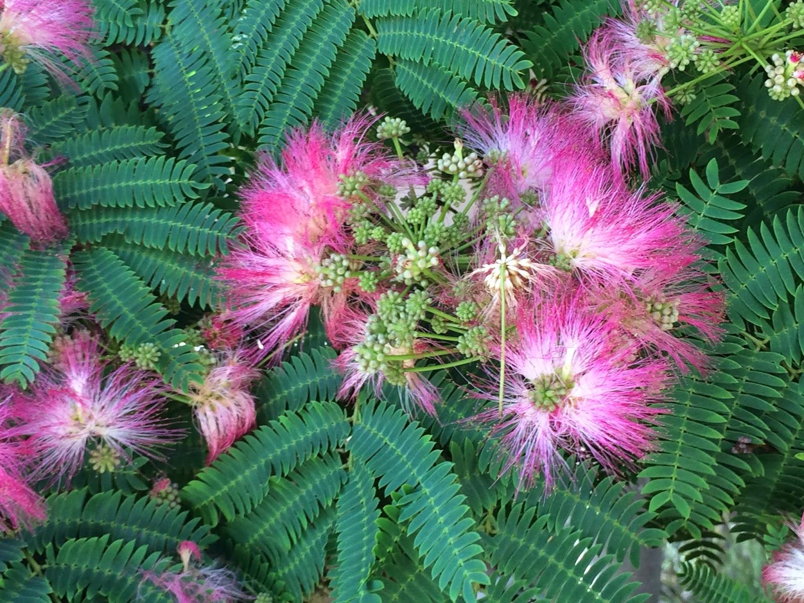 Trees Of Santa Cruz County Albizia Julibrissin Rosea Rosea Silk