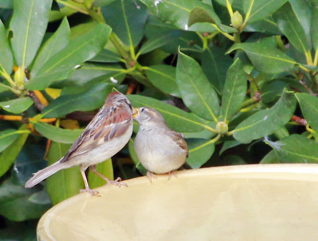 house sparrow feeds fledgling continued