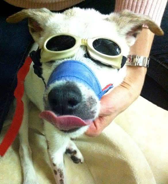 dog wearing goggles, doggles