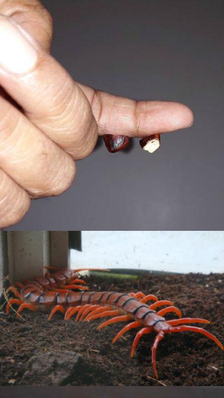 10 Tip Atau Petua Di Gigit Serangga Berbisa Termasuk Lipan