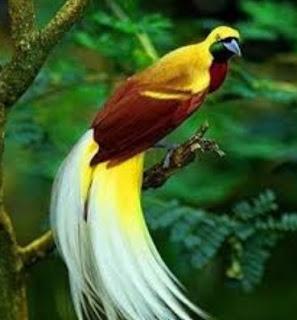 Burung Cantik Burung Cendrawasih