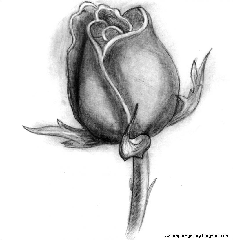 Rose Flower Drawing Background 1 HD Wallpapers  amagico