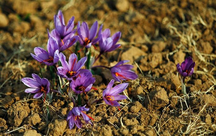 Saffron - one of the most expensive spices in the world